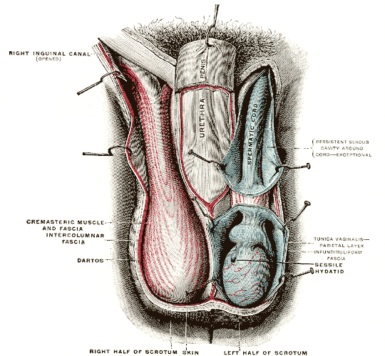 diagram of cremaster muscles