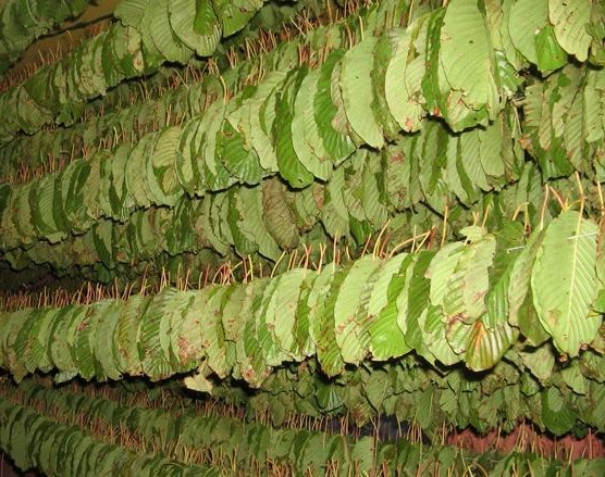 kratom leaves drying