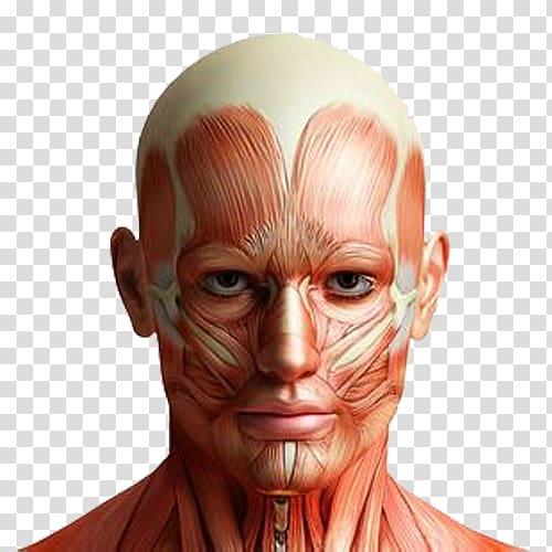 mark-main-anatomy-human-body-facial-muscles-simulated-stereoscopic-brain-meridian-map.jpg